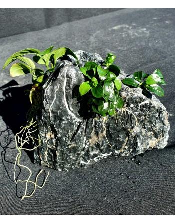 Roca aman [landscape] 3-4 anubias 15-20cm 3kg