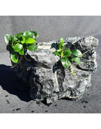 Roca aman [landscape] 2 anubias 13-18cm 2kg