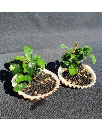 Bucephalandra in a shell