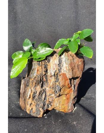 River rock 2 anubias 15-20cm 2kg