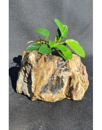 River rock with anubia 8-10cm 500g