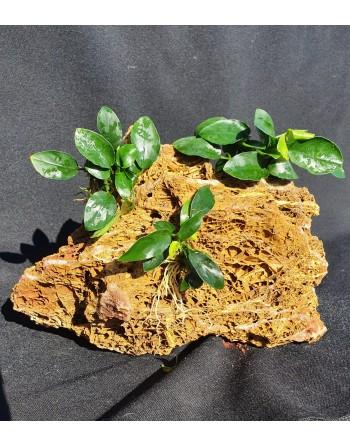 Rocha Maple 3 anubias 20-25 cm 2kg