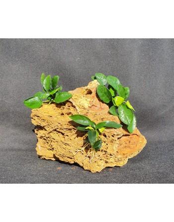 Maple rock 3 anubias 18-22 cm 1,5kg