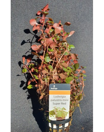 Ludwigia palustris mini Super Red