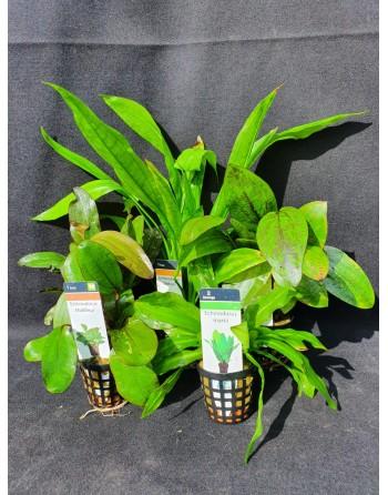 Echinodorus variadas 8-20 cm pacote 5 unidades