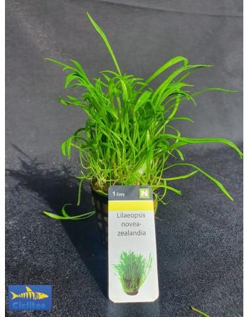 Lilaeopsis New Zealand
