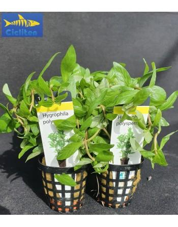 Hygrophila Polysperma pack 5 unidades
