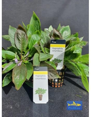 Hygrophila Corymbosa pack 5 unidades