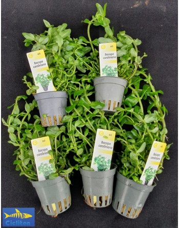 Bacopa Caroliniana pack 5 units