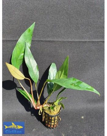 Anubia congenesis 20 a 30 cm