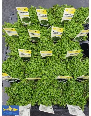 Planta tapizante CUBA - HEMIANTHUS CALLITRICHOIDES Pack 5...