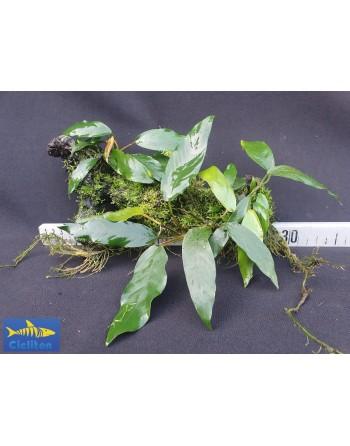Anubia XL con musgo en tronco de 25 a 35 cm