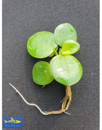 Planta flotantante limnobium  5 a 7 cm 1 unidad