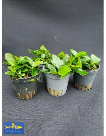 Anubia bonsái pack 5 unidades
