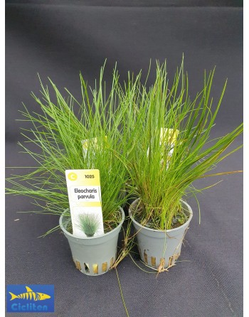 Eleocharis Parvula pack 5 units