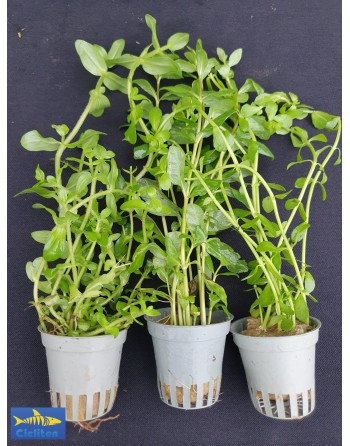 Bacopa Monnieri pack 5 units