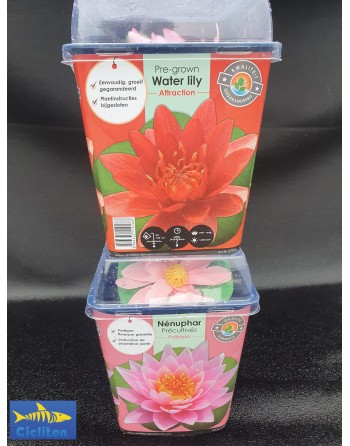 Premium water lily floating plant (color can be chosen)