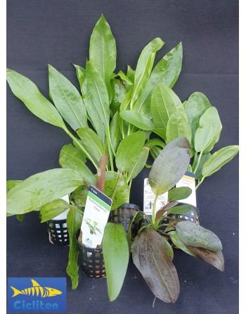 Varied Lot Echinodorus 4 pieces according to stock