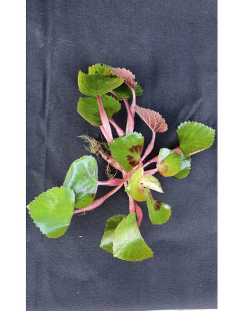 Trapa natans 10 to 15 cm floating plant (water chestnut)
