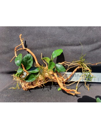 Anubia in root 15 to 25 cm