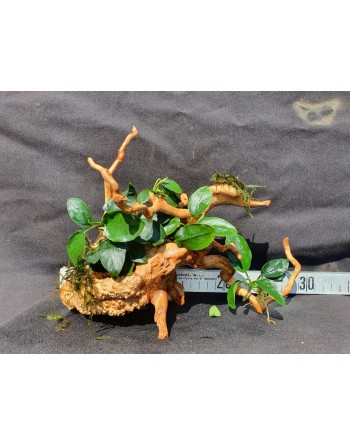 Anubia in root 25 to 35 cm