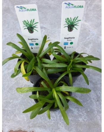 Sagittaria subulata maceta importación