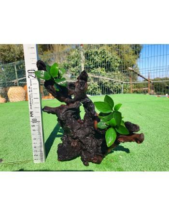 Anubia en tronco de dos a tres plantas 15 a 25 cm