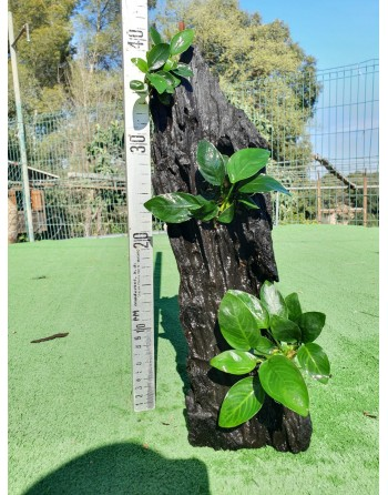 Anubia on trunk 30 to 35cm two or three plants