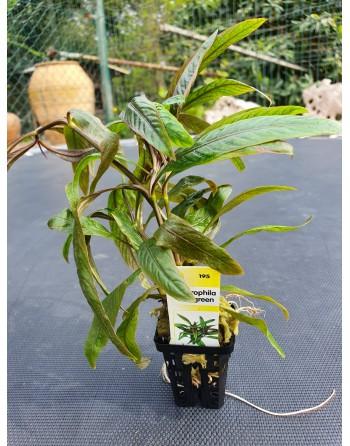 Hygrophila rojo-verde