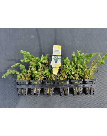 Rotala rotundifolia 15-20 cm pack 5 units