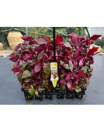 Red Hemigraphis 20-25 cm pack 5 units