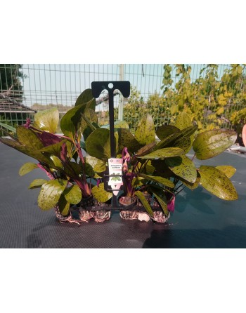 Echinodorus red flame 15-20 cm pack 5 units