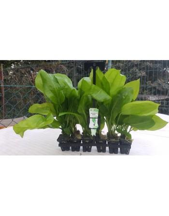 Echinodorus bleheri 20-30 cm pack 5 unidades