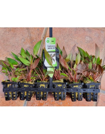 Cryptocoryne red 10-15 cm pack 5 units