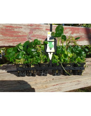 Hydrocotyle vulgaris 15-20 cm pack 5 units