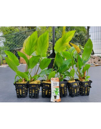 Anubia gracilis 15-20 cm pack 5 units
