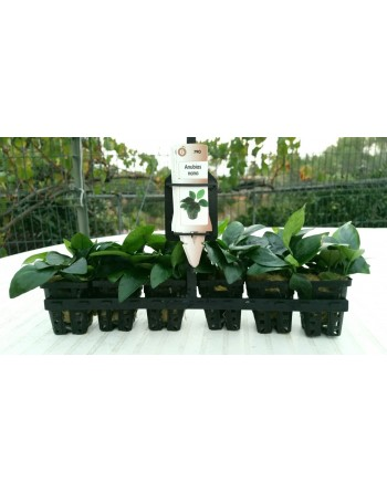 Anubia nana 8-10 cm pack 5 unidades