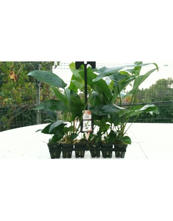 Anubia hastifolia 15-20 cm pack 5 units
