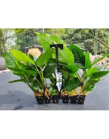 Anubia heterophylla big 25-35 cm pacote 5 unidades