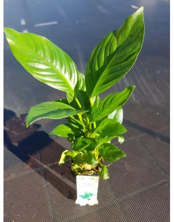Anubia heterophylla 15-20 cm pack 5 units