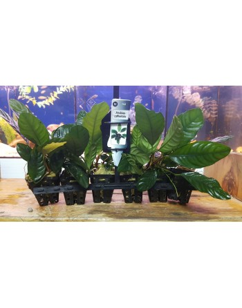 Anubia California 12-15 cm pack 5 units