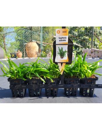 Sagitaria subulata 8-10 cm pack 5 units