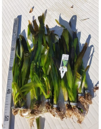 Vallisneria gigantea 25-35 cm pack 5 unidades