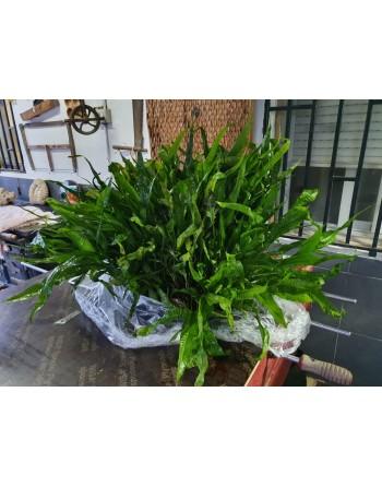 Parent plant XXL microsorium pteropus 45-55 cm pack 2 units