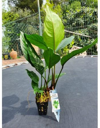 Anubia heterophylla big 20 a 30 cm