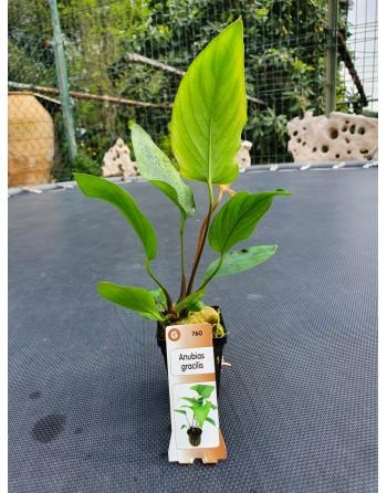 Anubias gracilis 15-20 cm