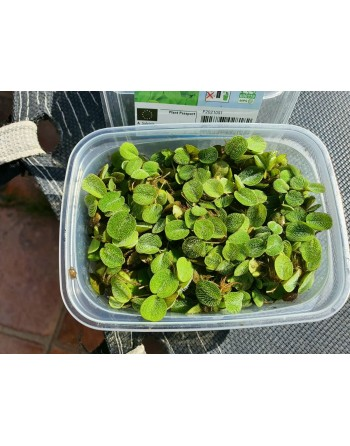Salvinia natans planta flotante tarrina 175 ml