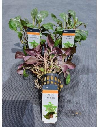Lobelia cardinalis 10-12 cm pack 5 units