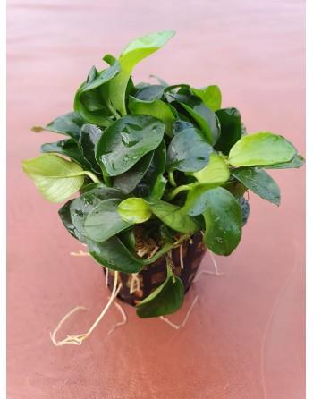 Anubia bonsai