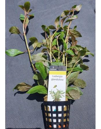 Ludwigia glandulosa pack 5 units